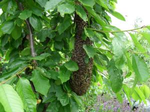 Swarm in tree - thumb