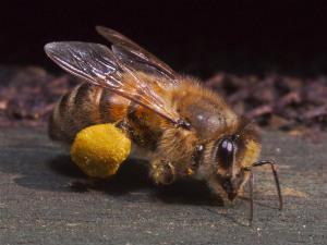 bee w pollen - thumb