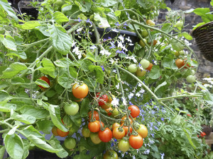 Angela's Tomatoes - thumb