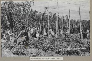 Hop harvest - thumb