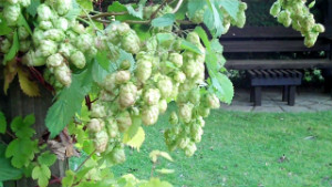 Hops in Suffolk - thumb